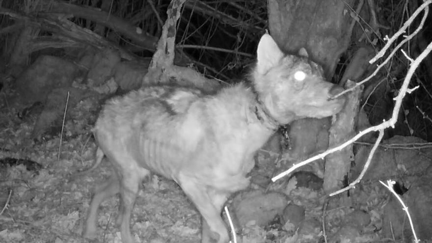 Acusan a la Universidad de poner lazos para atrapar lobos con fines científicos