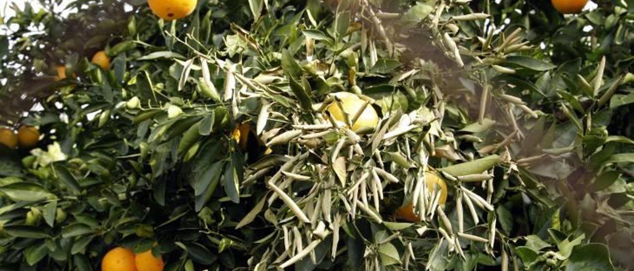 El ácaro oriental afecta a hojas y fruta