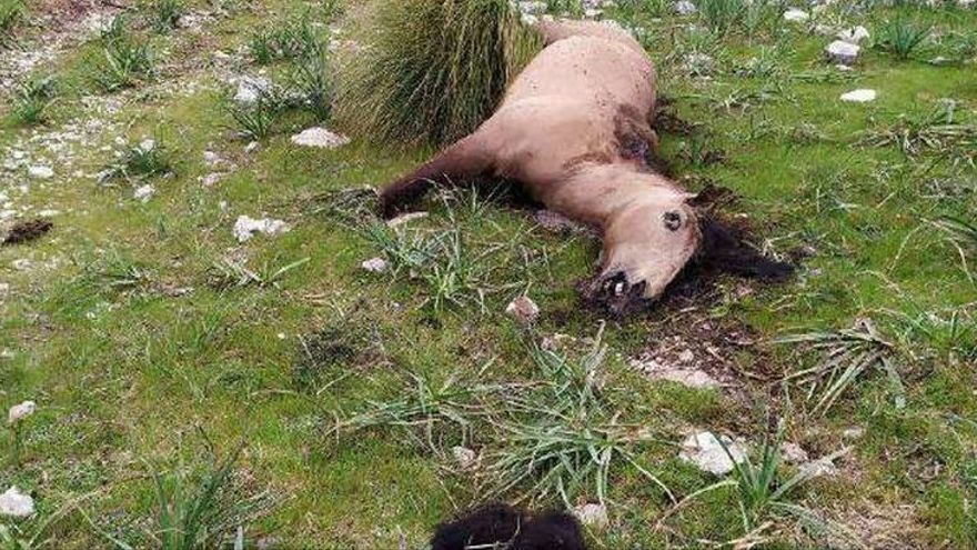 Los animalistas piden una condena ejemplar para el hombre que mató a hachazos a una yegua en Pollença