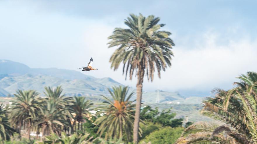 Liberado en Jinámar el tarro canelo al que mutilaron las alas