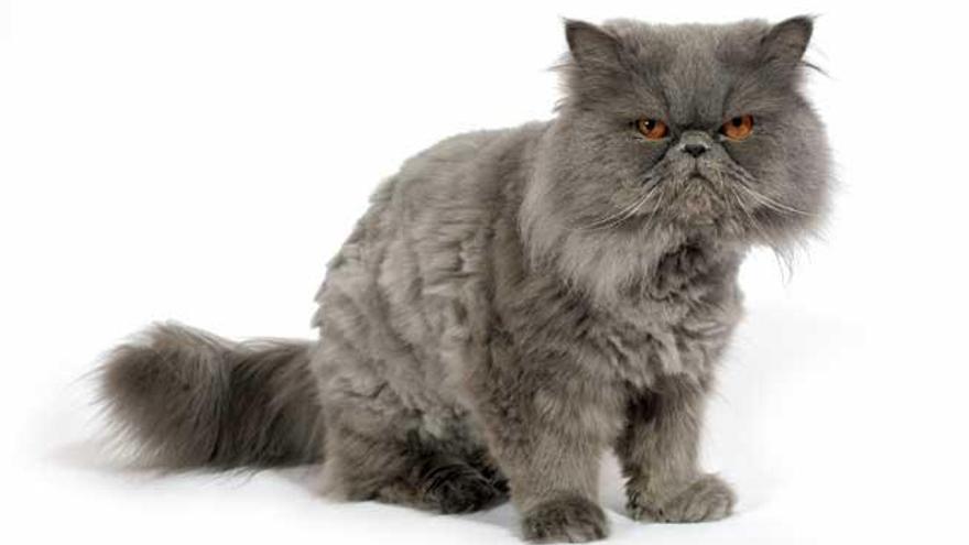 Gatos Persas Características Y Curiosidades Levante Emv