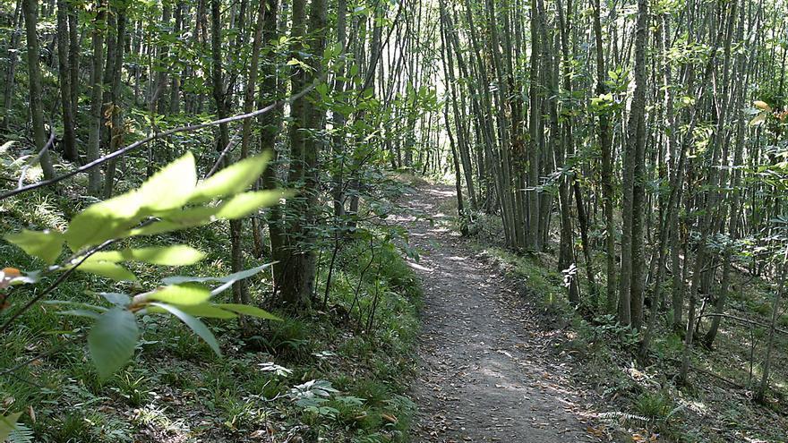 Redes es la zona más afectada de Asturias por las enfermedades y plagas del castaño