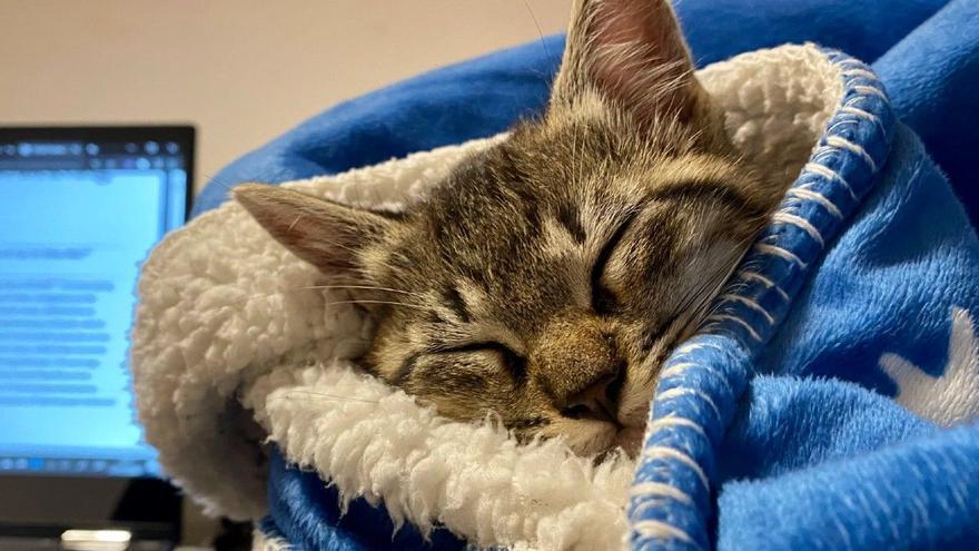 Perros y gatos también enferman de covid-19: así se contagian y estos son sus síntomas