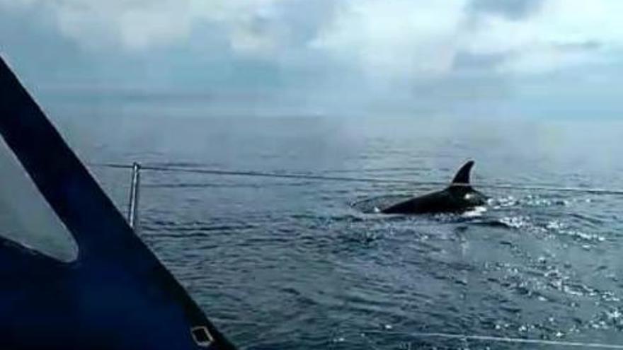 Las orcas dejan una nueva embarcación a la deriva y con el timón roto en Muros