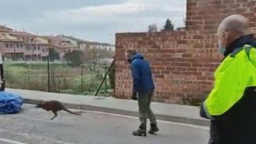 Agents Rurals denuncien dos germans, un de Llagostera, pel cangur aparegut a Osona