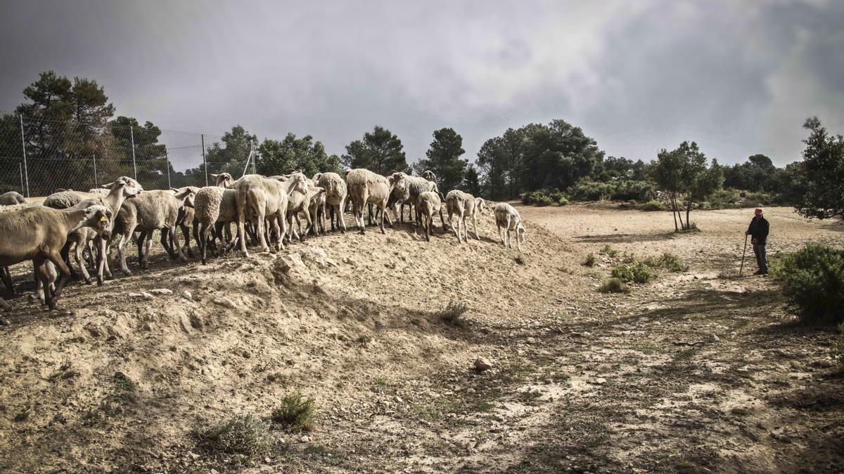 Un rebaño de ovejas en el parque natural de la Font Roja, cuyo Plan de Prevención de Incendios Forestales apuesta por las actividades agropecuarias tradicionales.