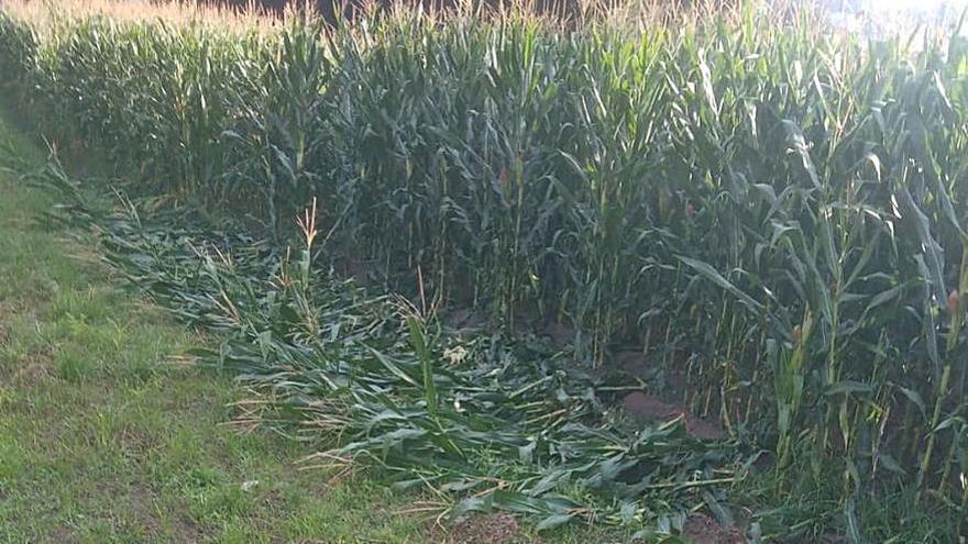 El jabalí se ceba con las plantaciones de maíz