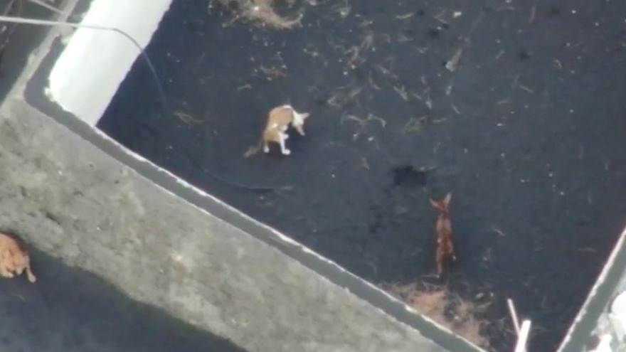 Tot a punt per salvar els tres gossos aïllats a la lava de l'illa de la Palma