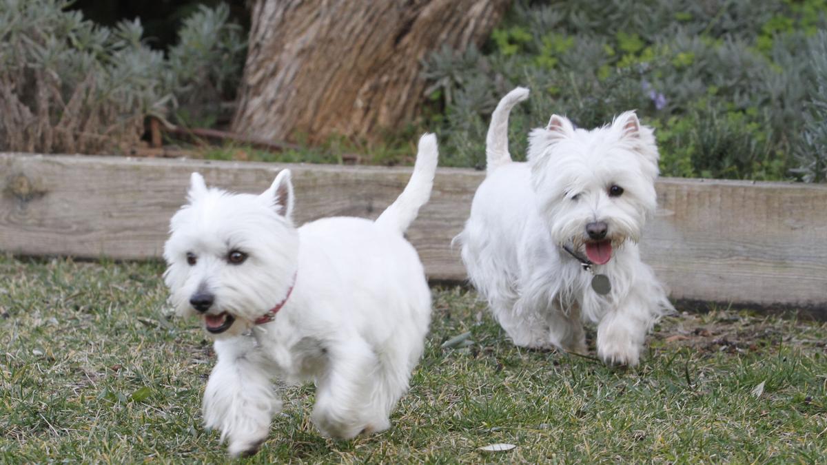 Dos perros de estatura pequeña, en una imagen de archivo.