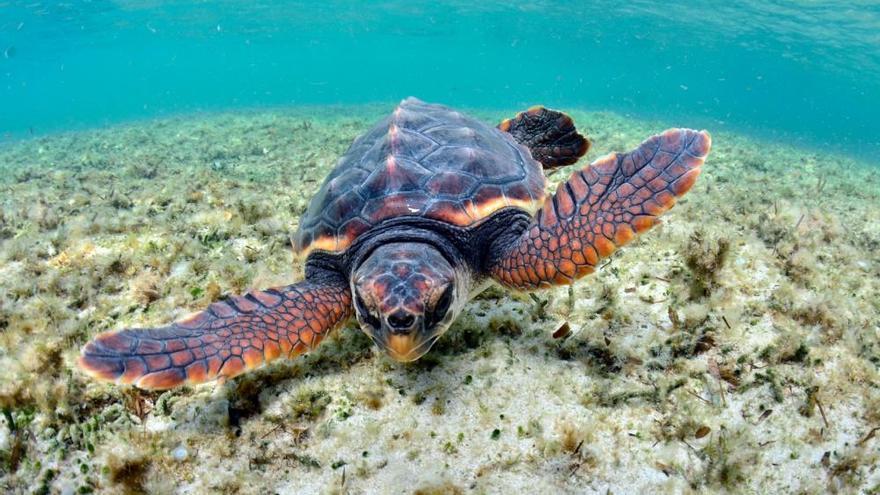 Los investigadores esperan que las tortugas nacidas en Ibiza puedan volver a anidar