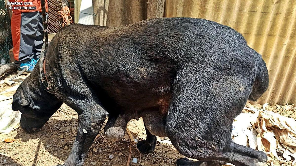 Un dels gossos que el Seprona va rescatar de la finca de Santa Coloma de Farners.   GUÀRDIA CIVIL