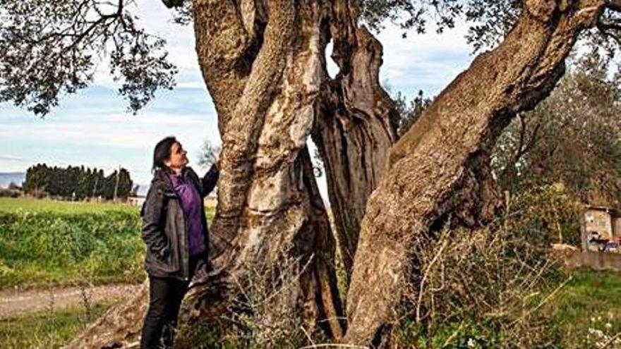 Ventalló indaga en el passat de les oliveres mil·lenàries