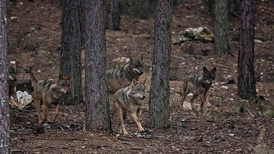 """Ecologistas de Ascel: no al control del lobo en  """"situaciones excepcionales"""""""