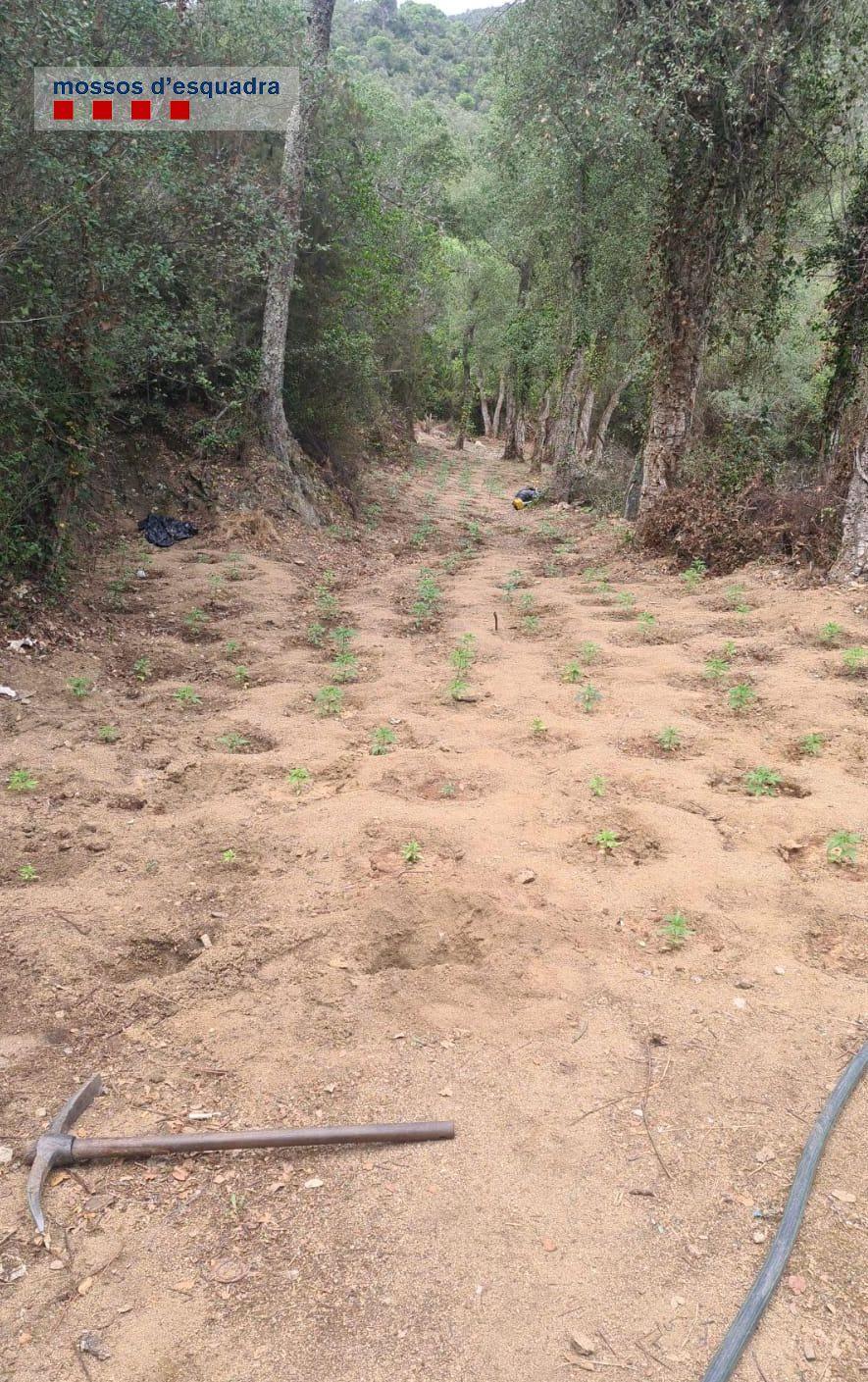 Desforesten un bosc protegit de Santa Cristina per cultivar més de 2.000 plantes de marihuana