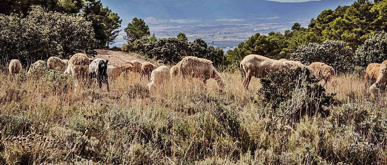 Animales pastando en el término municipal de Ibi para mantener limpios  los montes. JUANI RUZ | JUANI RUZ