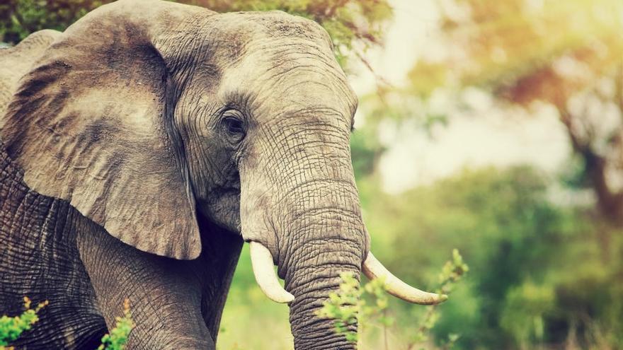 Descobreixen un gen que protegeix els elefants del càncer