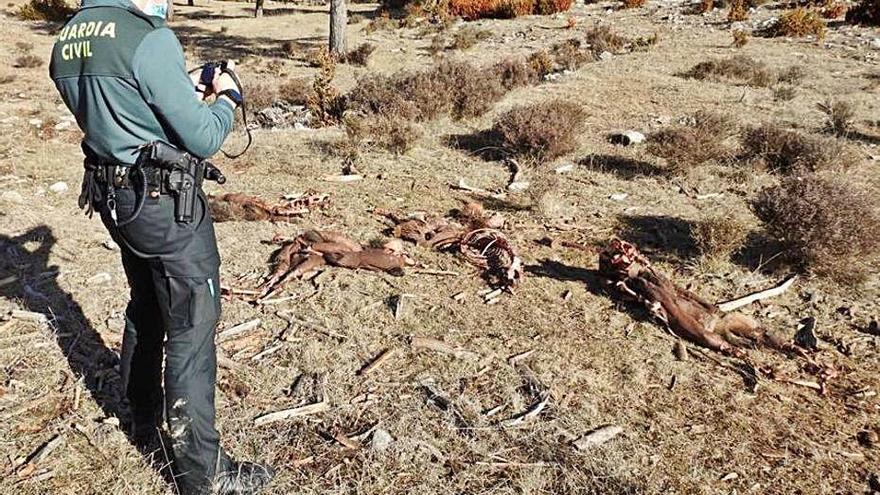 Denuncien caçadors per abandonar cadàvers d'animals a l'Alt Urgell