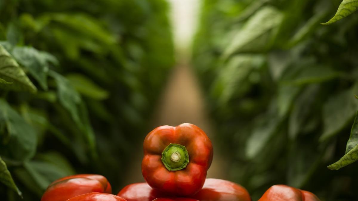 El pimiento es una de las hortalizas de mayor calidad cultivadas en la Región, huerta de Europa.