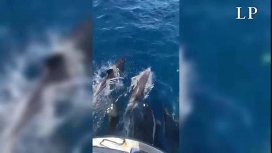 Espectacular grupo de delfines en la costa del Castillo del Romeral