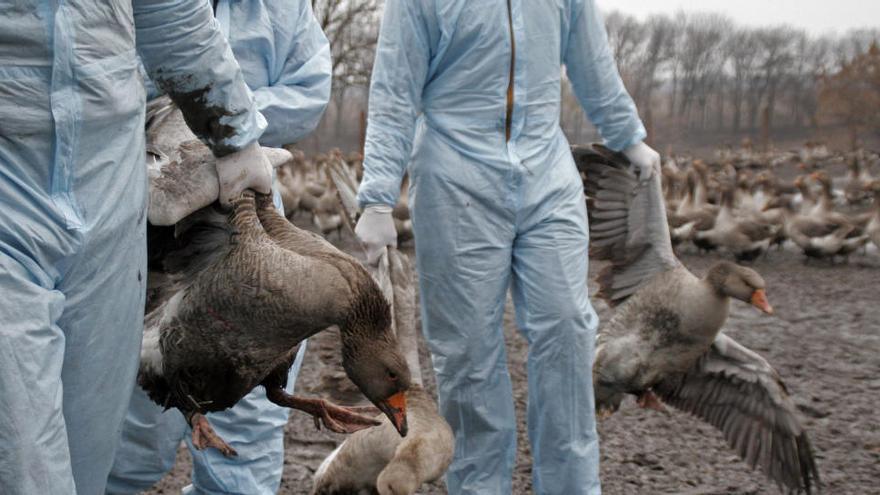 Detectan gripe aviar en un parque natural de Girona