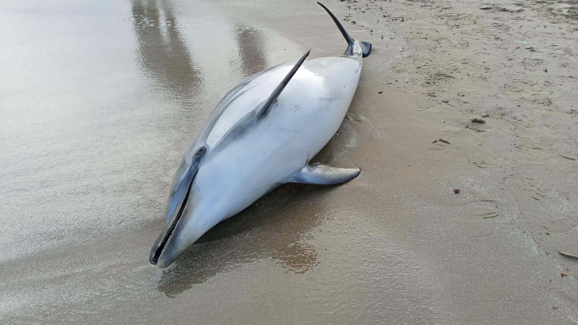 Aparece un delfín muerto en una playa de Torrevieja