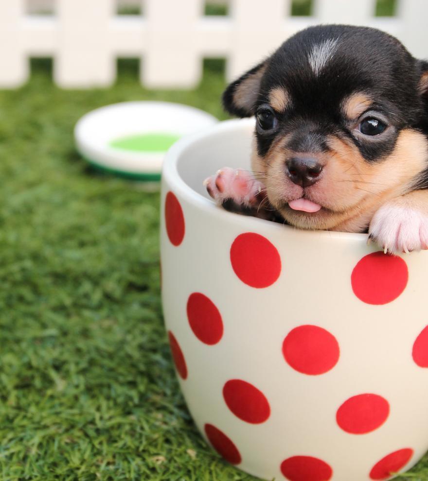 Las 5 razas de perros pequeños más populares