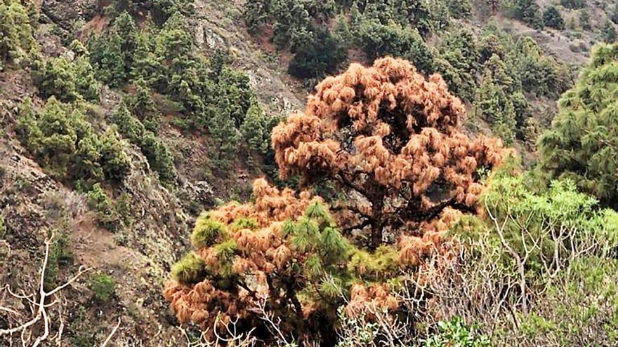 La sequía mata 800 pinos adultos en La Caldera de Taburiente