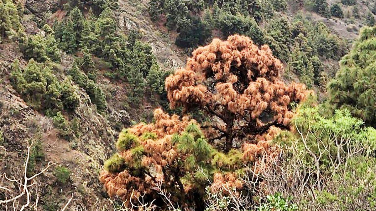 Ejemplares de pino canario secos en el Parque Nacional de la Caldera de Taburiente. | | E.D.