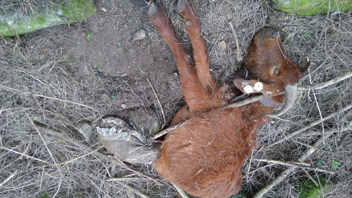 Otra cabra atacada por el lobo en Meira