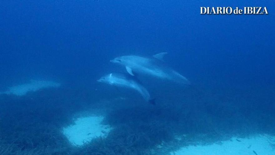 Buceando con delfines en Sant Antoni