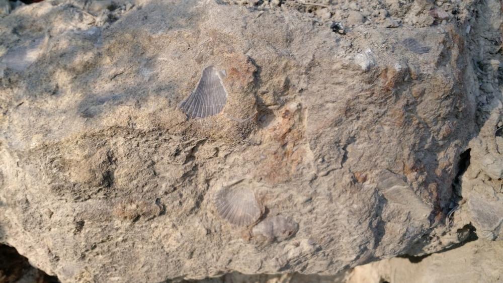 Anys enrere. Els fòssils són restes d'organismes que van viure en el passat o empremtes de les seves activitats que s'han conservat en roques sedimentàries. La de la fotografia pertany al terme de Mura i Talamanca.