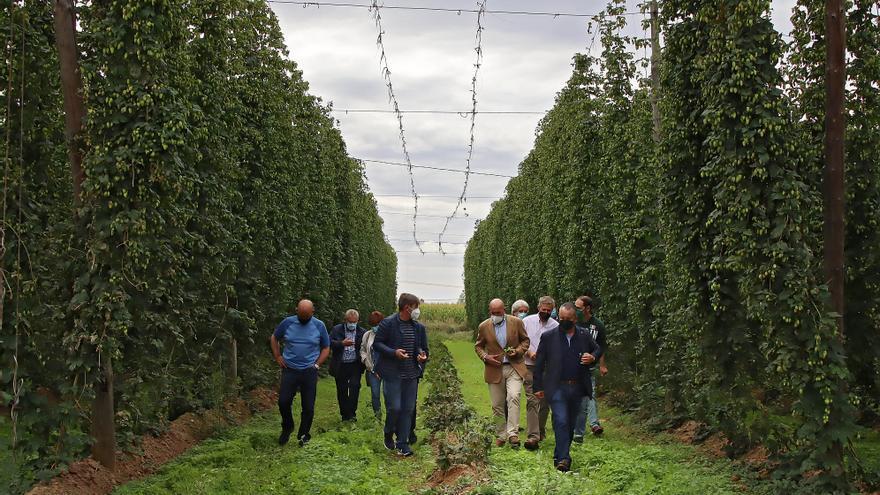 El lúpulo, el cultivo que podría atraer a los jóvenes a la Agricultura en Castilla y León