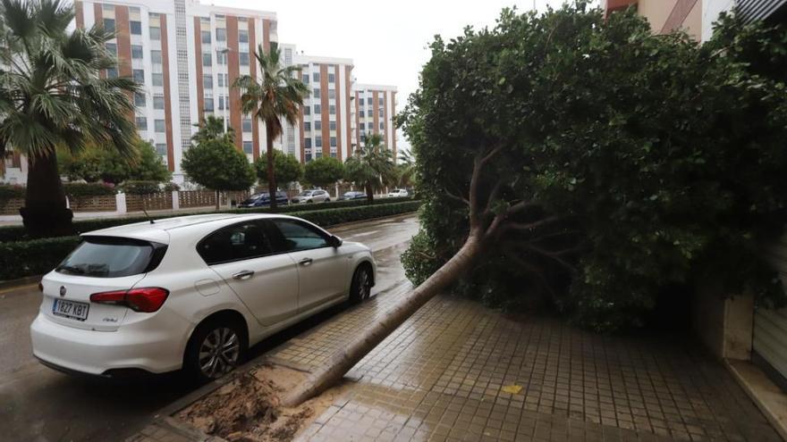 Caídas de enormes pinos en Morvedre que hasta dejan sin teléfono