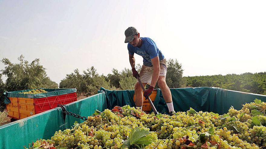 El consejo regulador de Montilla-Moriles espera una menor cosecha de uva por el calor