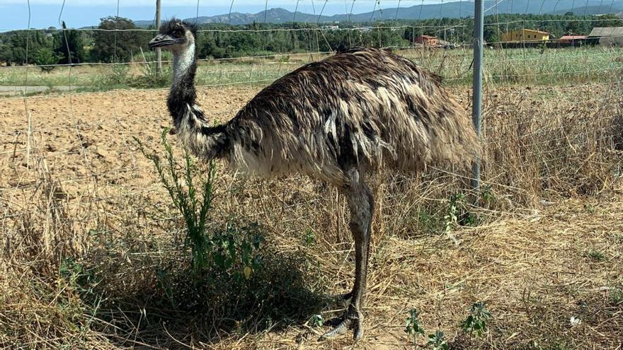 Un caçador troba l'emú robat en una finca a Llagostera