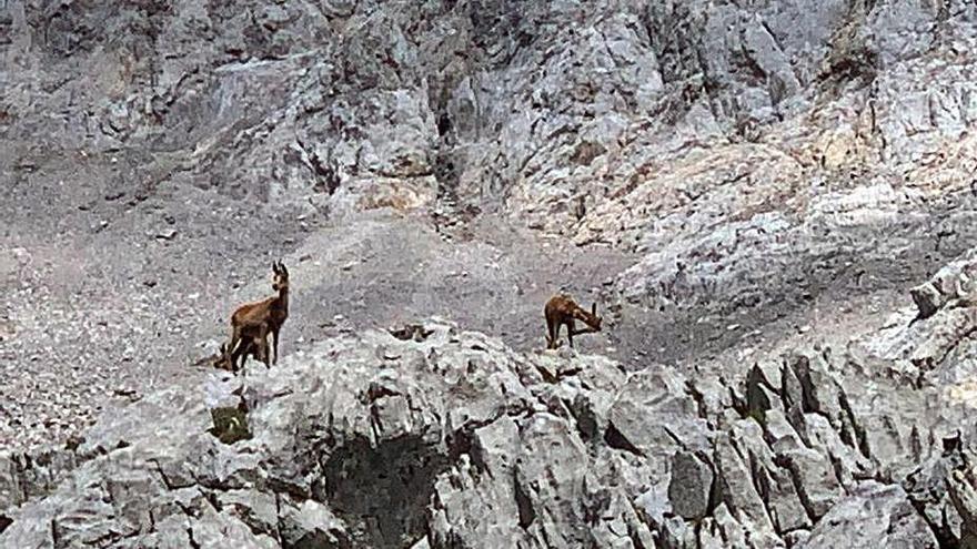 El rebeco supera la sarna y se recupera en los Picos, con unos 5.500 ejemplares