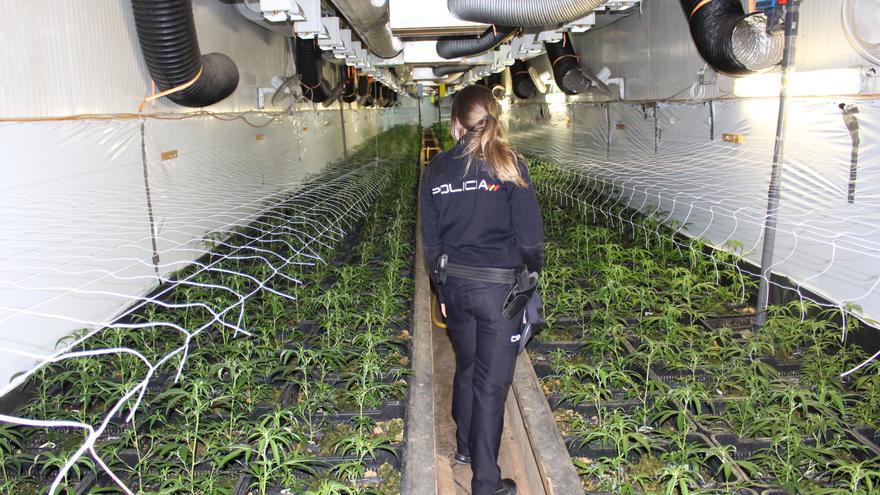 La Policía Nacional desmantela una macroplantación de marihuana en Alaquàs