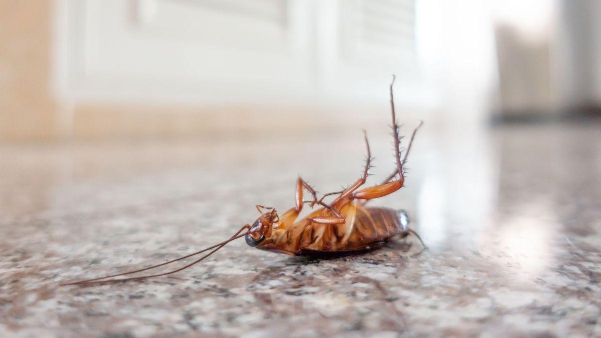 cLa Policía Local de Vigo tuvo que intervenir esta semana en una vivienda del centro para retirar una cucaracha.