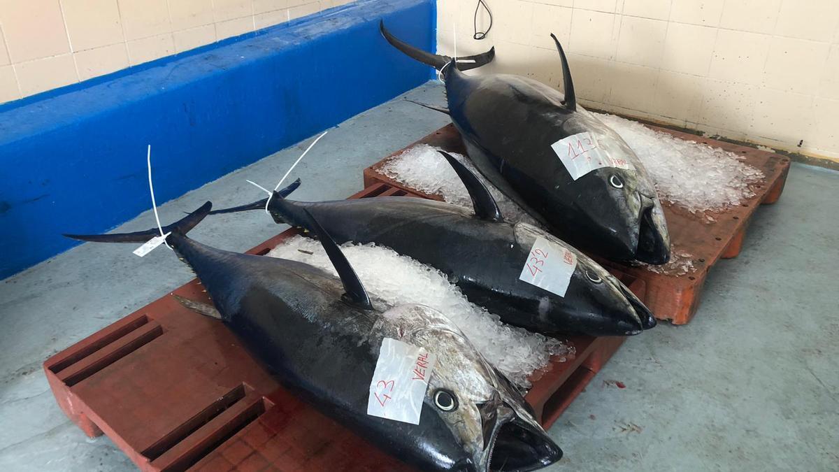 Ejemplares de atún rojo capturados estos días en aguas valencianas.