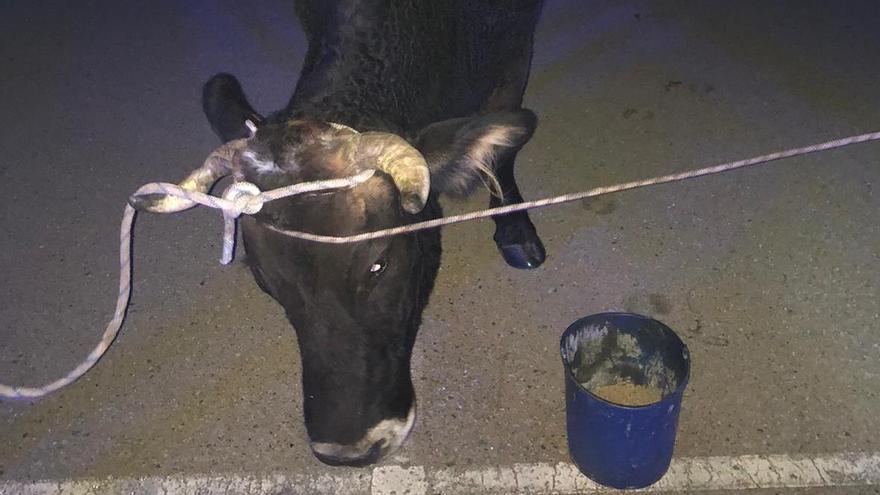 La vaca, una vez ya apresada por los efectivos de emergencia.