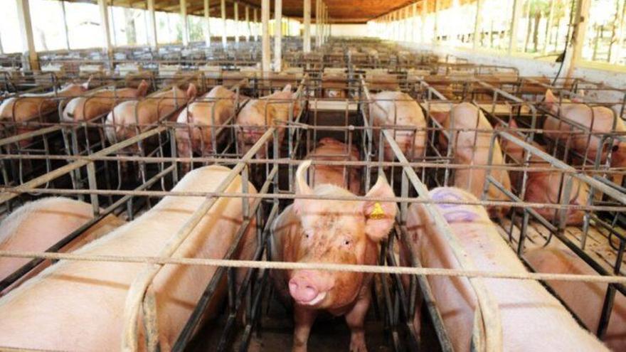 Benestar animal: Cap a una ramaderia sense gàbies en 2023?