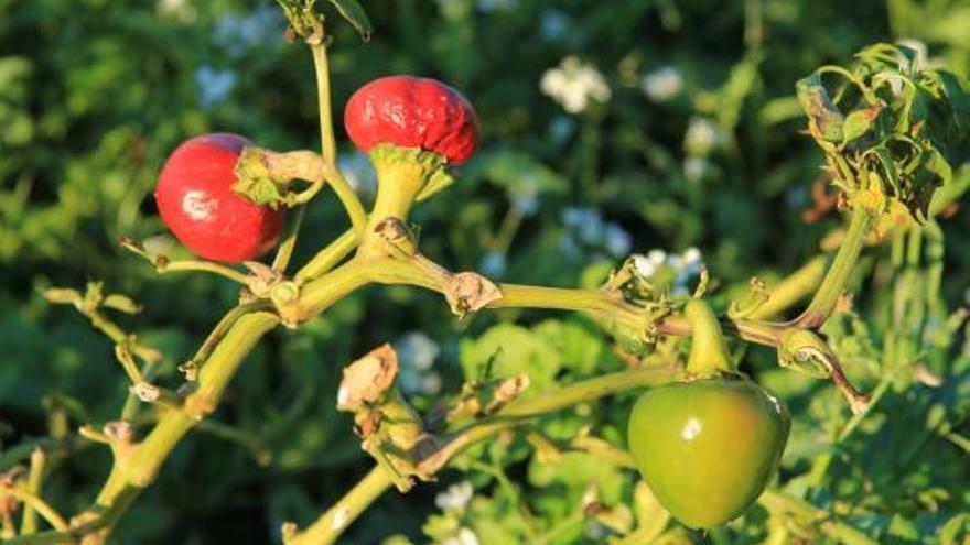 """La Ñora de Guardamar: """"Oro rojo"""" en la cocina"""