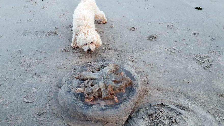 Localizan restos de una medusa gigante en una playa de Vigo