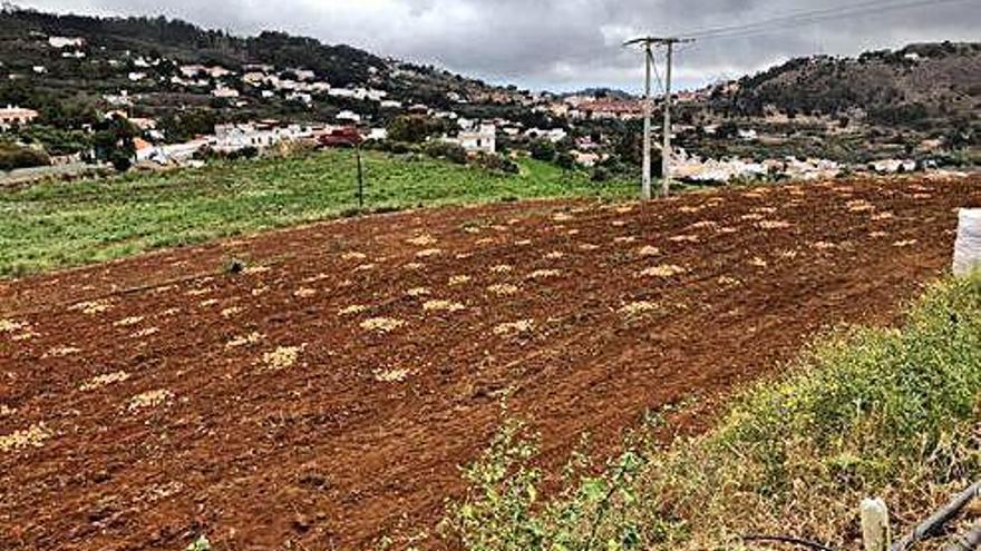 La polilla guatemalteca devora los cultivos de papas de las Medianías