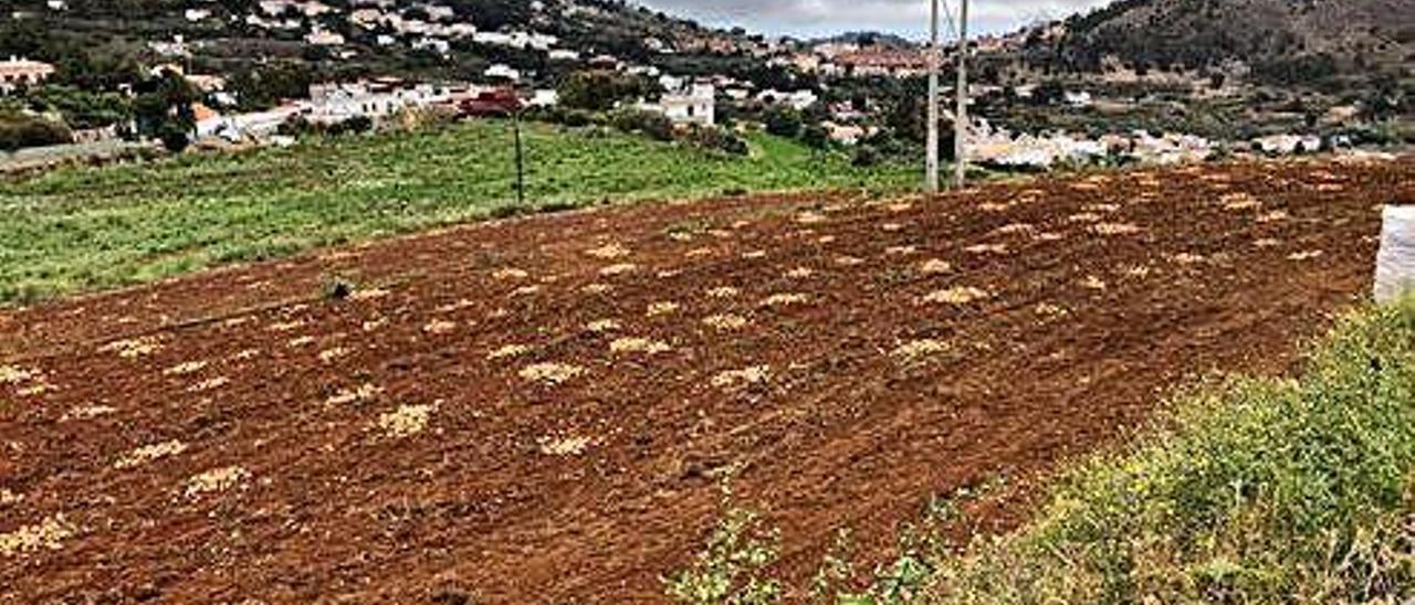 Una finca de papas afectada por la polilla guatemalteca.