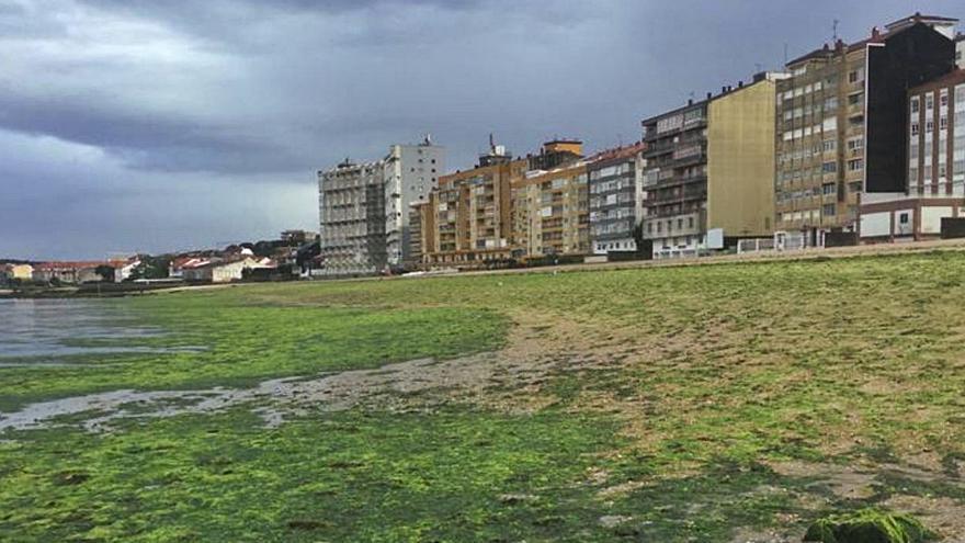 Un manto de algas en la playa Compostela, nueva amenaza para las mariscadoras de Carril