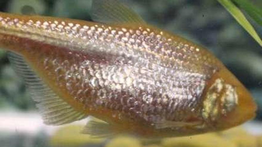 Un pez saludable sin ojos y con elevados niveles de azúcar, objeto de estudio para estudiar la diabetes