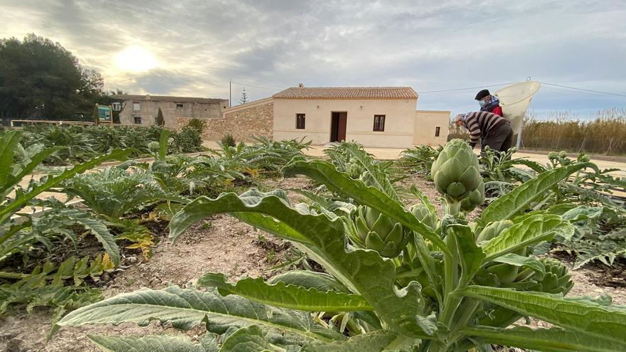 Alcachofas Solidarias para el Banco de Alimentos desde Almoradí