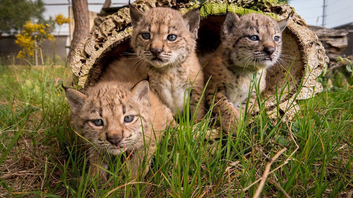 Tres crías de lince.