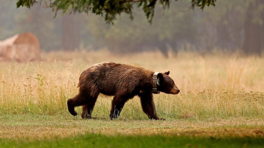 Los osos de Yosemite, más activos que nunca ante el confinamiento humano
